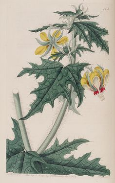 Loasa acanthifolia. Bushy plants produce unusual and highly attractive bright yellow flowers. Leaves are similar to Acanthus. Its stinging hairs is the reason it is not often seen. Botanical Register, vol. 10 (1824) [M. Hart]