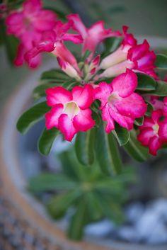 Rosa do Deserto Foto Priscilla Paggiaro