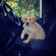 Hey Cutie! Want to go for a ride? Golden Retriever. Land Rover, Defender.