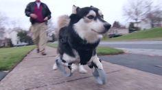Cão corre pela primeira vez graças a próteses feitas em impressora 3D, N...