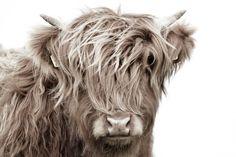 Highland Cattle, Farm Life, Cow, Lion Sculpture, Statue, Prints, Canvas, Animals, Curtains