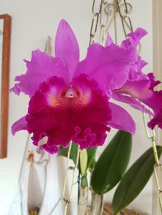 Pura cor Orquideas Cymbidium, Gardening, Flowers, How To Make, Photos, Beautiful, Colors, Plants, Places