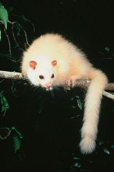 White lemuroid