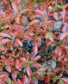 Viburnum nudum 'Winterthur'