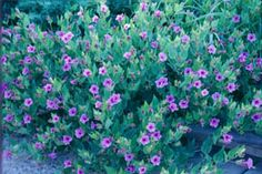 "Mirabilis multiflora (Desert four o'clock). Blue-green leaves; wide spreading mounded habit; trumpet-shaped flowers with yellow stamens open late morning; well-drained soils. 12-30""  Sun to part shade"