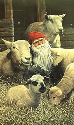 Christmas advent calendar from Sweden. Put funny glasses on the sheeps and send to boyfriend on christimas.