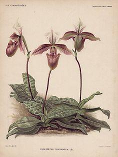 Cypripedium purpuratum. Ldl.