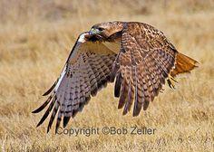 Hawk Images. Free | Bird of the Week – Red-tailed Hawk | Texas Tweeties by Bob Zeller