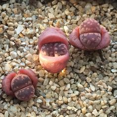 #conophytum #cactus #mesembs #plants #生石花  #リトープス #コノフィツム #多肉 #肉锥花 #다육 #다육이 #다육식물 #succulent #코노피튬 #리톱스 #선인장 #메셈 #식물 #lithops #체스키 #파종 #탈피 by sweetdaldalkong