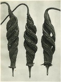 Cajophora lateritia, (Loasaceae), Chile nettle, seed capsules by Karl Blossfeldt. Karl Blossfeldt, Spirals In Nature, Inspiration Artistique, In Natura, Fotografia Macro, Seed Pods, Natural Forms, Natural Structures, Natural Wonders