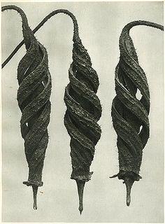 cajophora lateritia, loasaceae