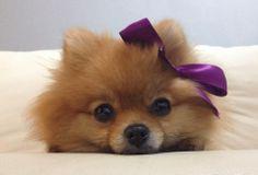 prettiest pomeranian ever. Romina <3  facebook/prettyromina