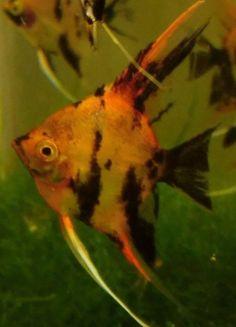 Tropical Angelfish Fish
