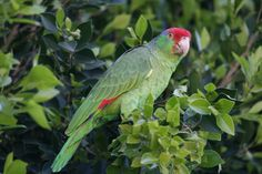 One of Orange County's wild parrots visits our tree. Photo by Kristi Stowell Cole.
