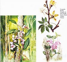 Brazilian Orchids by English-born illustrator Margaret Mee (736×681)