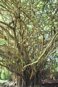 Rainbow Falls in Hilo, Hawaii: See the Banyan Tree at the Waterfall on Your Big Island Trip