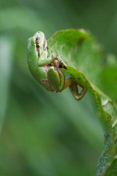 Frog...