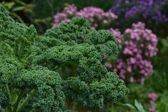 Kale | Flickr - Photo Sharing!