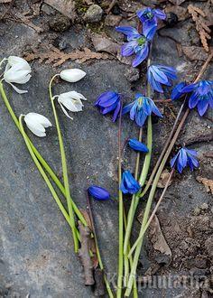 Idänsinililjat (Scilla siberica) kuuluvat kevään kukkijoihin, ja nemenestyvät Lappia myöten ja niitä voi hyötää myös ruukuissa. Istuta sipulit syys-lokakuussa, kun maa on viilennyt.