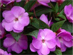 plantas-ornamentais-beijo-pintado