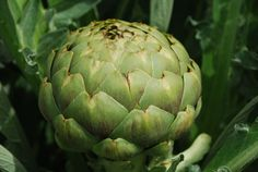 """'Green Globe' artichoke.  Harvest artichokes when the bottom scales begin pulling away from the bud.  If you wait too long, the scales will open and the artichoke could become infested with aphids, and more of the delicious, creamy artichoke heart is converted to inedible """"choke""""."""