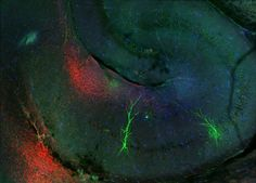 Looking for external inputs to the hippocampus using funky red-shifted opsin Neurons, Brain, Twitter, Red, Painting, Nerve Cells, The Brain, Painting Art, Paintings