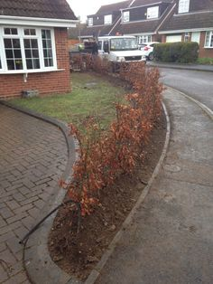 Newly planted beech hedging replacing scabby old privet hedge