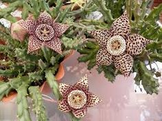 Orbea variegata (Stapelia variegata) - Starfish Plant Carrion Flower - Native to South Africa - How to grow and care for your Stapelia. Growing Succulents, Cacti And Succulents, Planting Succulents, Cactus Plants, Planting Flowers, Rare Flowers, Beautiful Flowers, Mother Of Thousands Plant, Hoya Plante