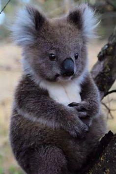 Adorable koala by Marie from Nitzsch & Hans Maxx Conrads - Near Portland, Fitzr . - Adorable koala by Marie von Nitzsch & Hans Maxx Conrads – Near Portland, Fitzroy River, VIC / via - Nature Animals, Animals And Pets, Strange Animals, Wild Animals, Animals Images, Cute Baby Animals, Funny Animals, Cute Koala Bear, Tier Fotos