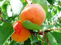 Moorpark Apricot Tree - Apricot Trees - Willis Orchard Company
