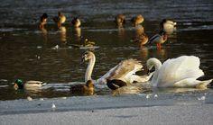 Edge of the ice. mixture frozen lake variety birds