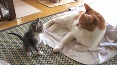 子猫おはぎ日記 - Ohagi diary -  you have to see all the videos she has of Ohagi.  She's a crazy, adorable cat.