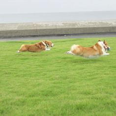 This is how corgis cover so much ground in spite of those stumpy legs....b588a3b10fac6e97746e284f24f435c5.jpg 640×640 píxeles