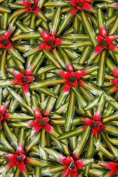 electricorchid:  a carpet of bromeliads | +