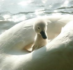 Everytime I see a picture of a white swan, my heart takes a leap. They are one of God's perfect creations. :-)