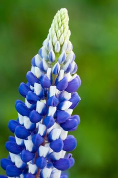 lupine  Jordan Valley Conservation Garden Park; West Jordan, Utah         Photo by raspberrytart      via Yoshihiro Ogawa