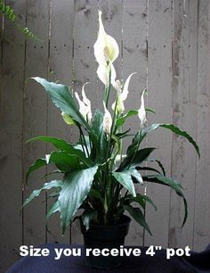 Peace Lily Plant - Spathyphyllium - Great House Plant -Grows in Low Light
