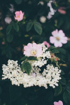 Elder flower and wild roses