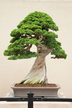 he word bonsai is most closely associated by most with the growing of miniature trees, and although this is somewhat accurate, there is a lot more to it than that. A bonsai is not a genetically overshadowed plant Ikebana, Bonsai Tree Types, Indoor Bonsai Tree, Mini Plantas, Juniper Bonsai, Juniper Tree, Plantas Bonsai, Bonsai Styles, Miniature Trees
