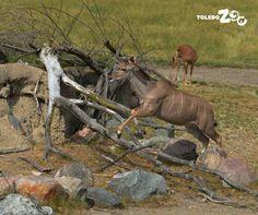 Kudu. www.toledozoo.org
