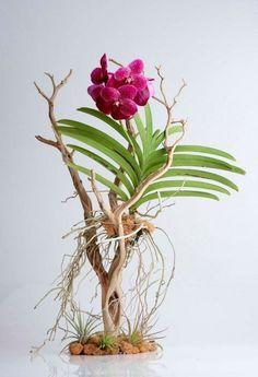"36"" H manzanita branch with Vanda orchid plant."