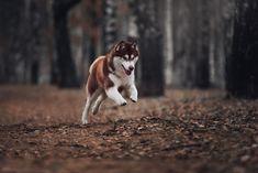 By Ksenia Raykova. Cute Husky, My Husky, Husky Photos, Dog Photos, Husky Brown, Akita Dog, Dog Facts, Snow Dogs, Alaskan Malamute