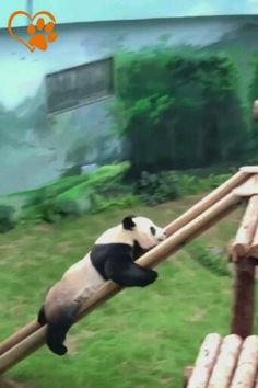 Frog Discover The panda is smart and funny . Niedlicher Panda, Panda Funny, Panda Love, Cute Panda, Panda Gif, Cute Little Animals, Cute Funny Animals, Funny Cute, Funny Animal Fails