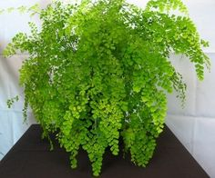 This is my Favorite Fern!   • Maidenhair Ferns are a great option because they have frilly fun leaves that vary from the usual thick leaves of indoor plants. Most Ferns do well inside with low light (and ferns look great in terrariums) so check out others like Silver Lace Fern with variegated leaves.