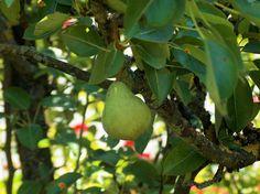 Birne am Baum