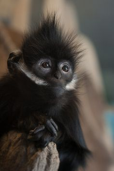 Francois Langur Baby by William T. Hornaday