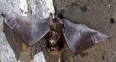 Bats are the only mammals capable of true flight. With extremely elongated fingers and a wing membrane stretched between, the bat's wing anatomically resembles the human hand. Almost 1,000 bat species can be found worldwide. In fact, bats make up a quarter of all mammal species on earth! Diet
