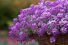 Purple Bed : 11 : Lobularia maritima Clear Crystal Lavender Shades Alyssium