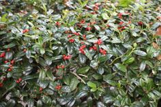 Dwarf Burford Holly- A dense growing evergreen shrub that will grow to about 4′.  In the winter it has bright red/ orange berries. Grows to zone 6 so check your local garden centers for the best varieties for your area.