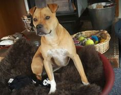 SCOUT – AVAILABLE FOR ADOPTION